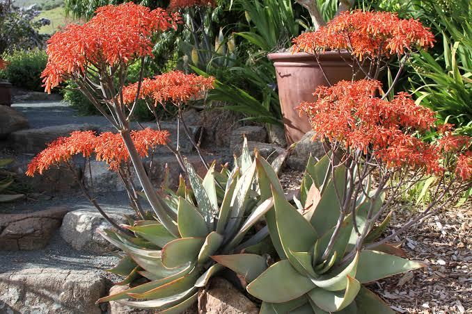 Aloe Coral