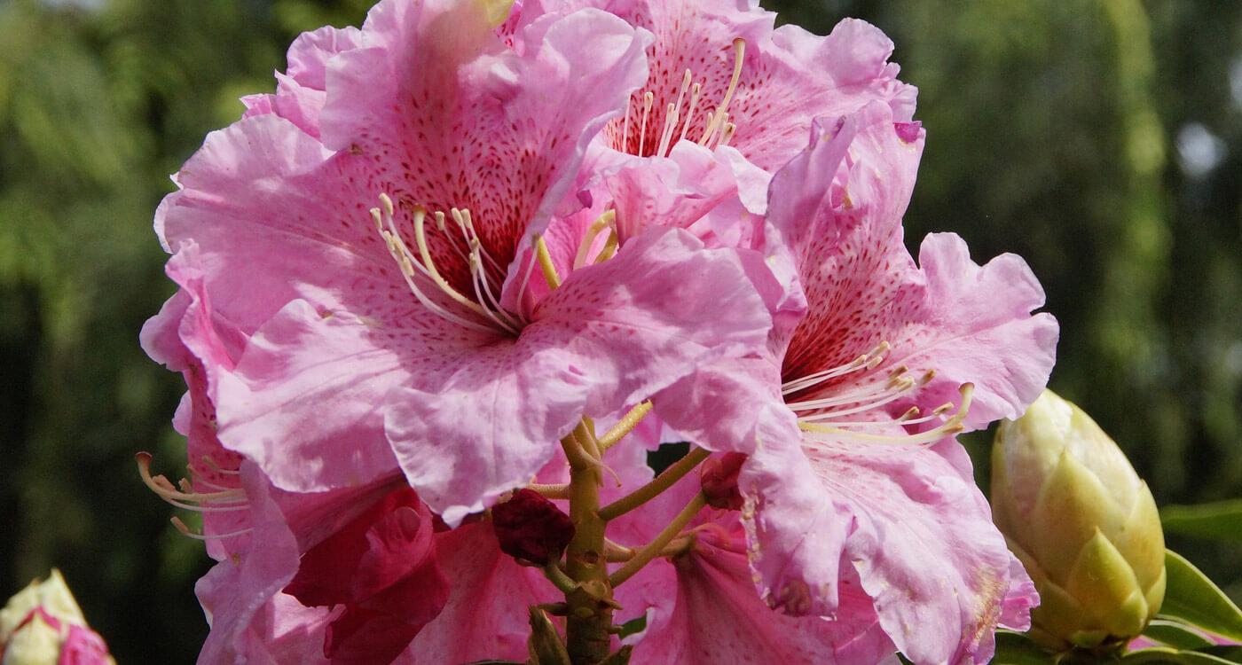 Azaleia – Flores que Gostam de sol
