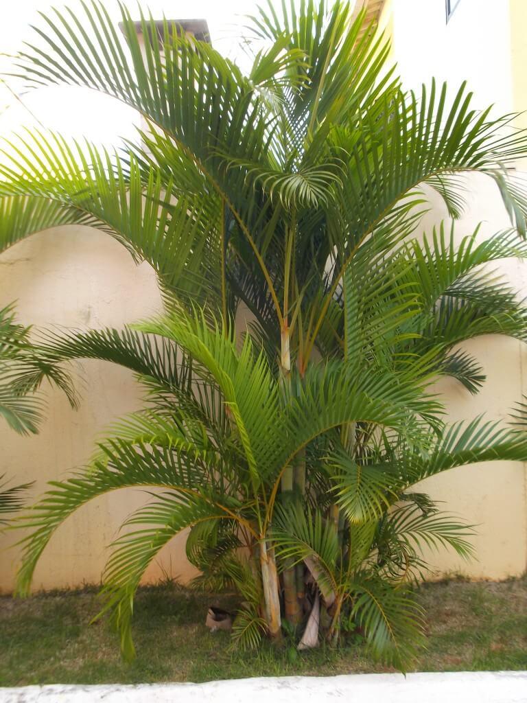 Coqueiro de jardim GRANDE