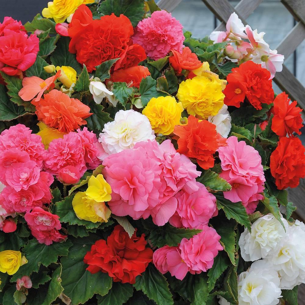 begônia – Flores que Gostam de sol