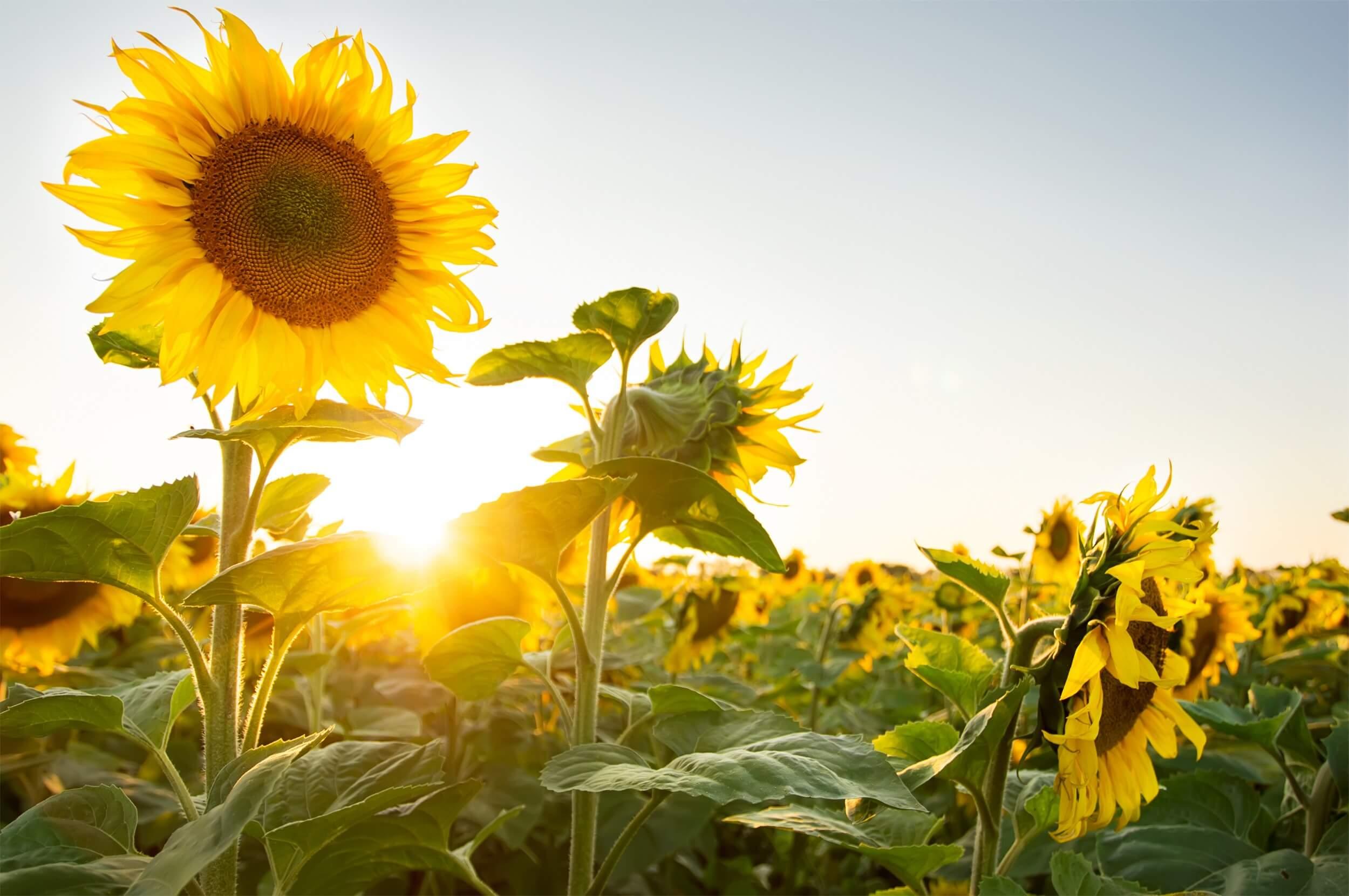 girassol – Flores que Gostam de sol