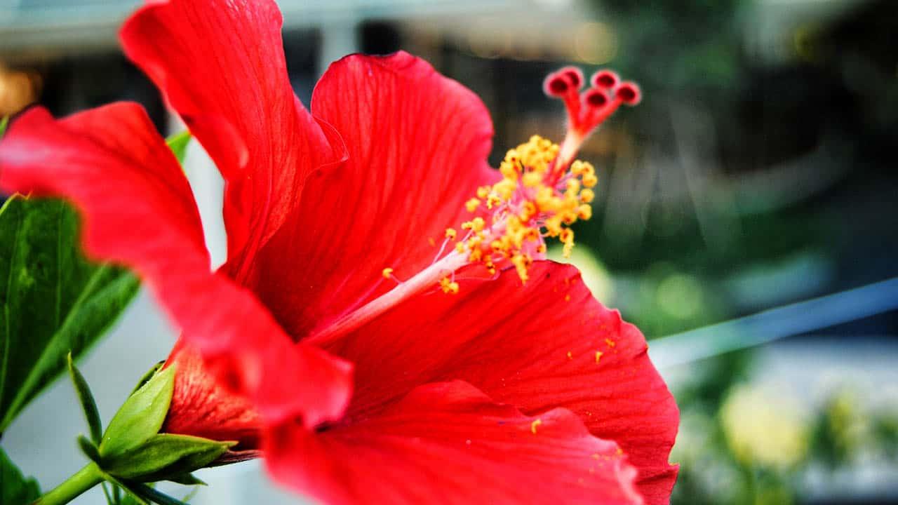 hibisco flores que gostam de sol