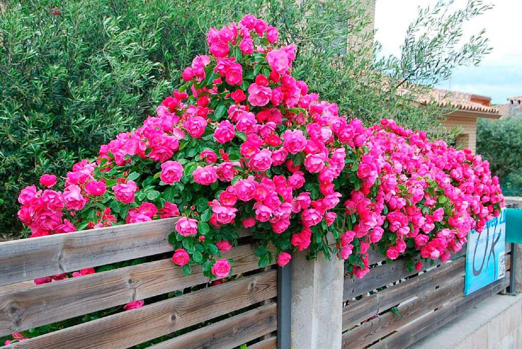 Rosa Trepadeira cor de Rosa
