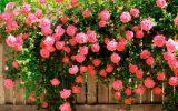 Rosa Trepadeira sobre a cerca