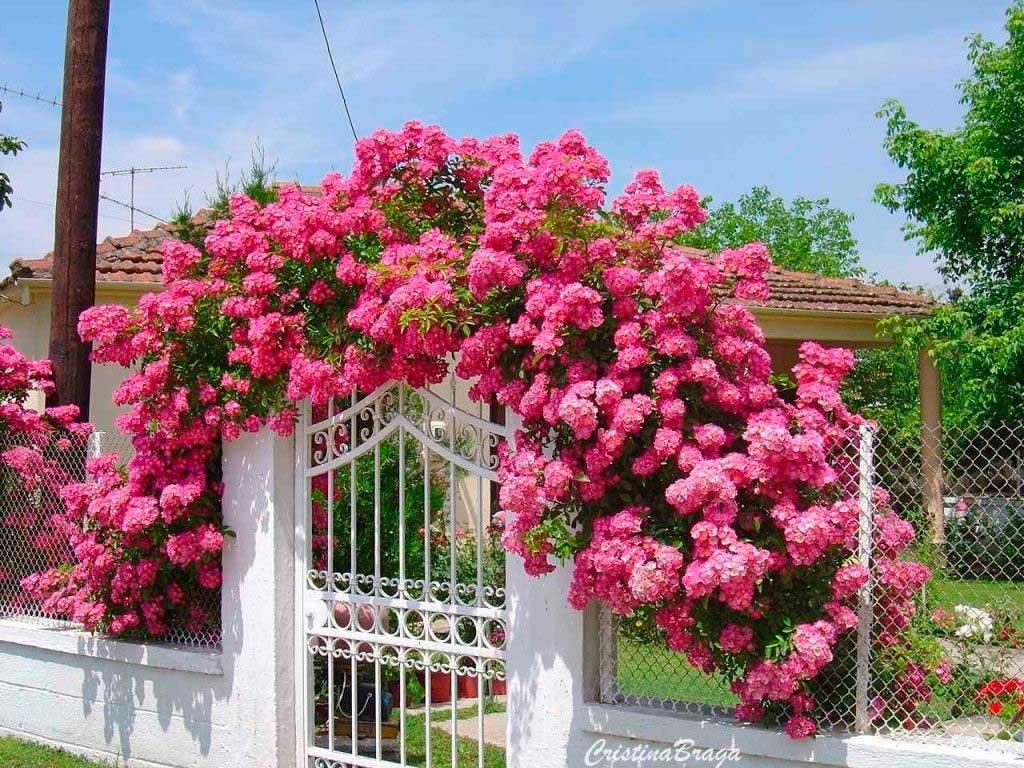 Rosa trepadeira sobre o Portão