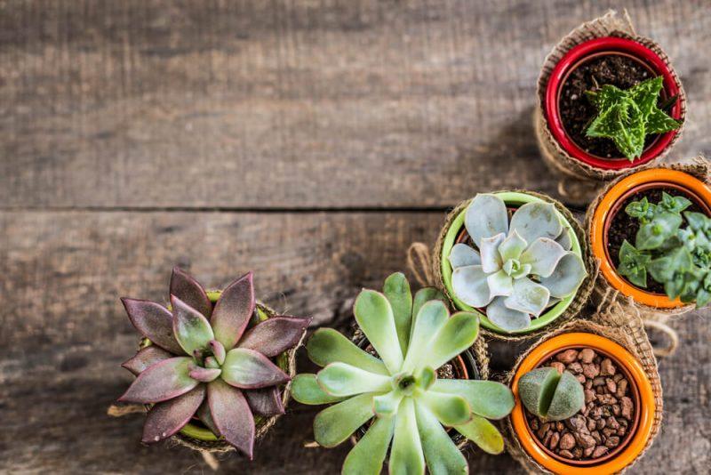 Tipos de Plantas Suculentas