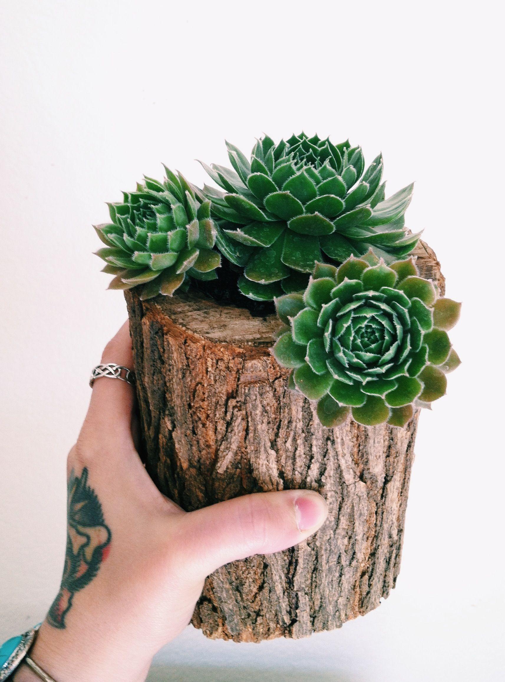 Como Cultivar Suculentas em Troncos de Árvores