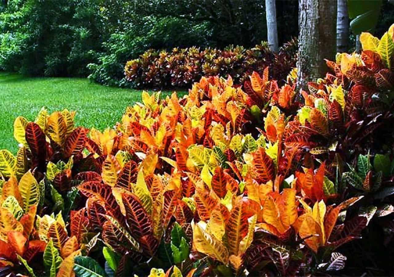 Plantas de Sombra para Jardim cróton