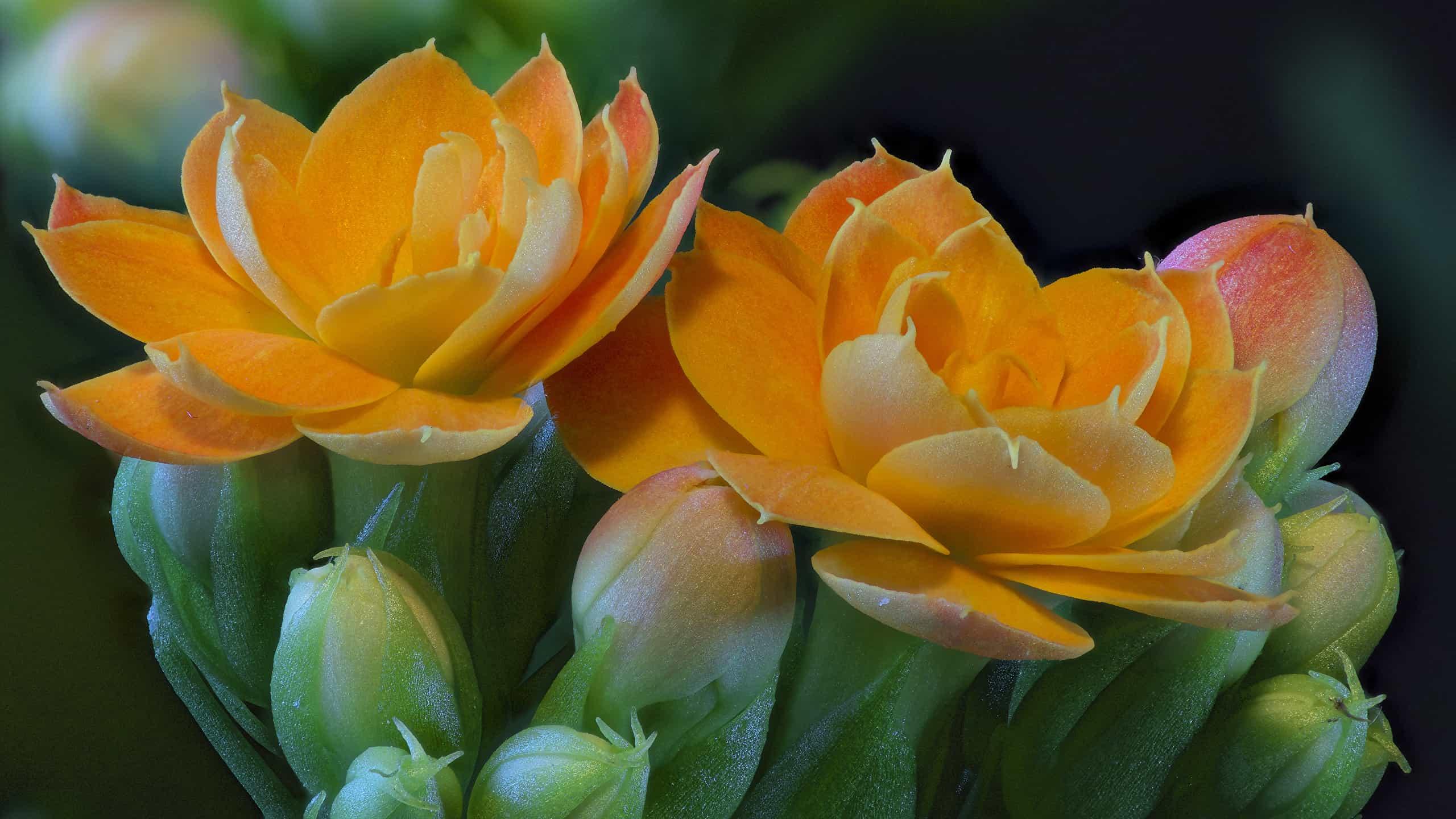 Como Cuidar da Flor da Fortuna