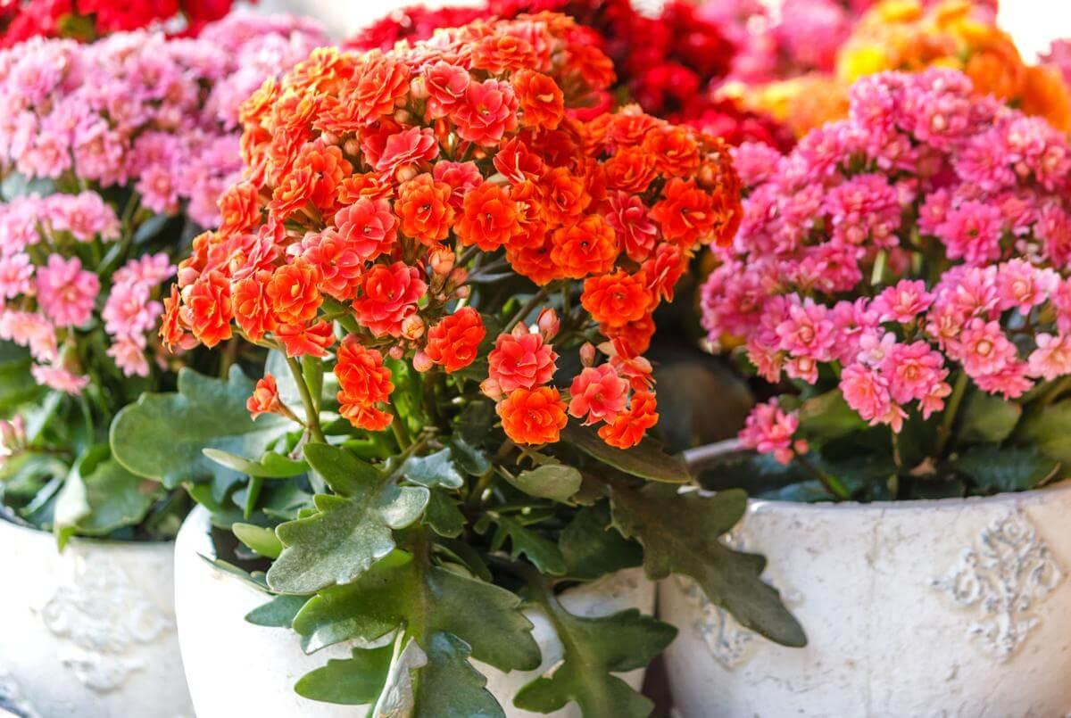 Significado da Flor da Fortuna