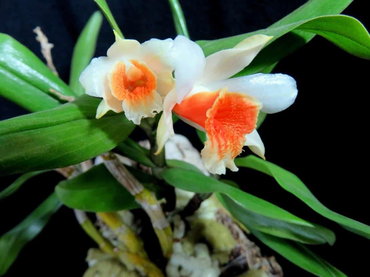 Orquídea Olhos de Boneca branca