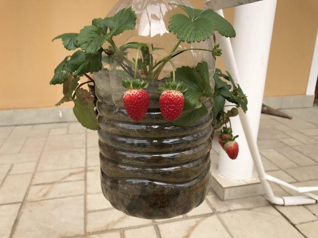 Como Plantar Morango em Garrafa PET
