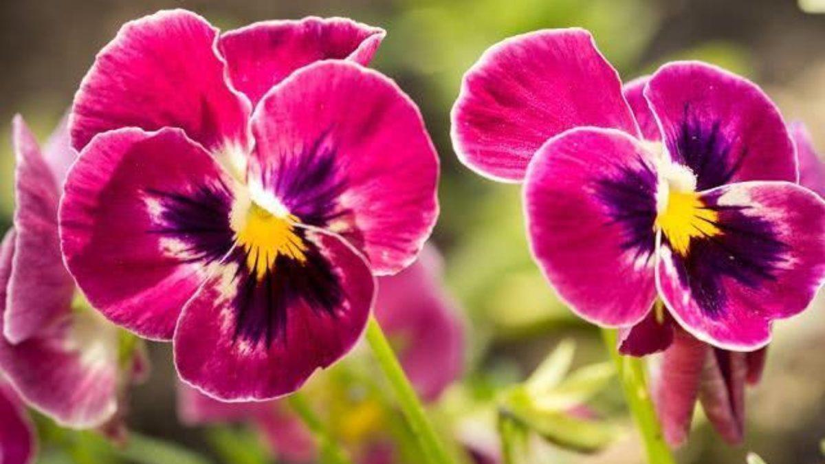 Amor Perfeito flor rosa