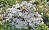 flor branca Azaléia