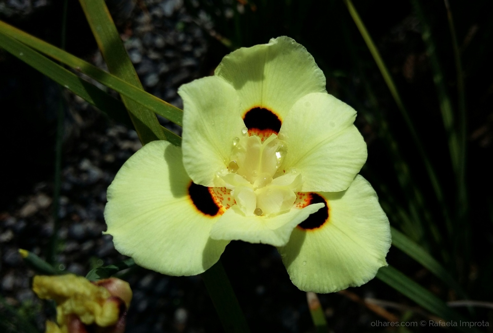 Moreia Planta amarela
