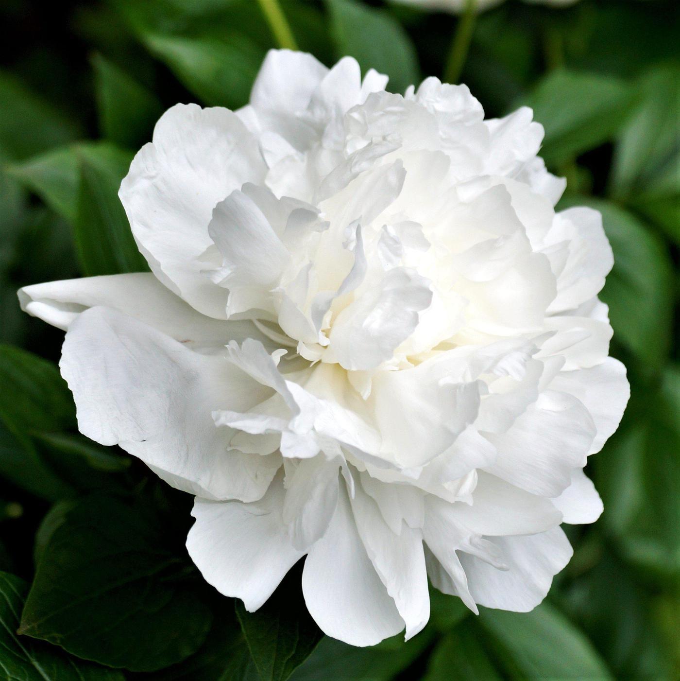 Peonia branca