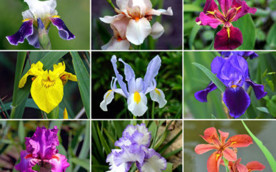 Cores e tipos de Flor Íris