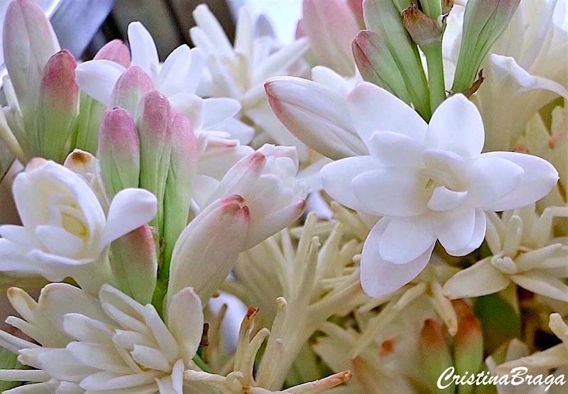 Significado Da Flor Angélica