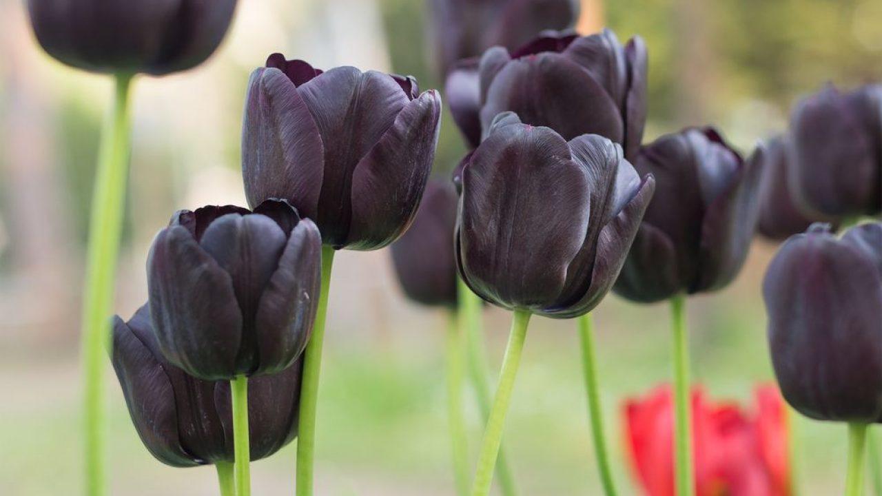 flor tulipa preta