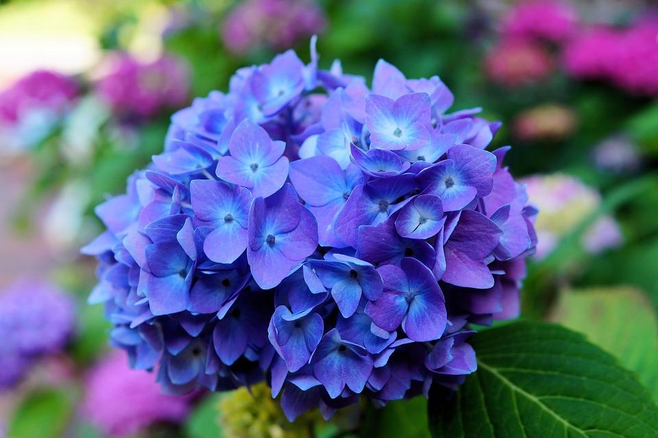 Flor Azul Hortênsia