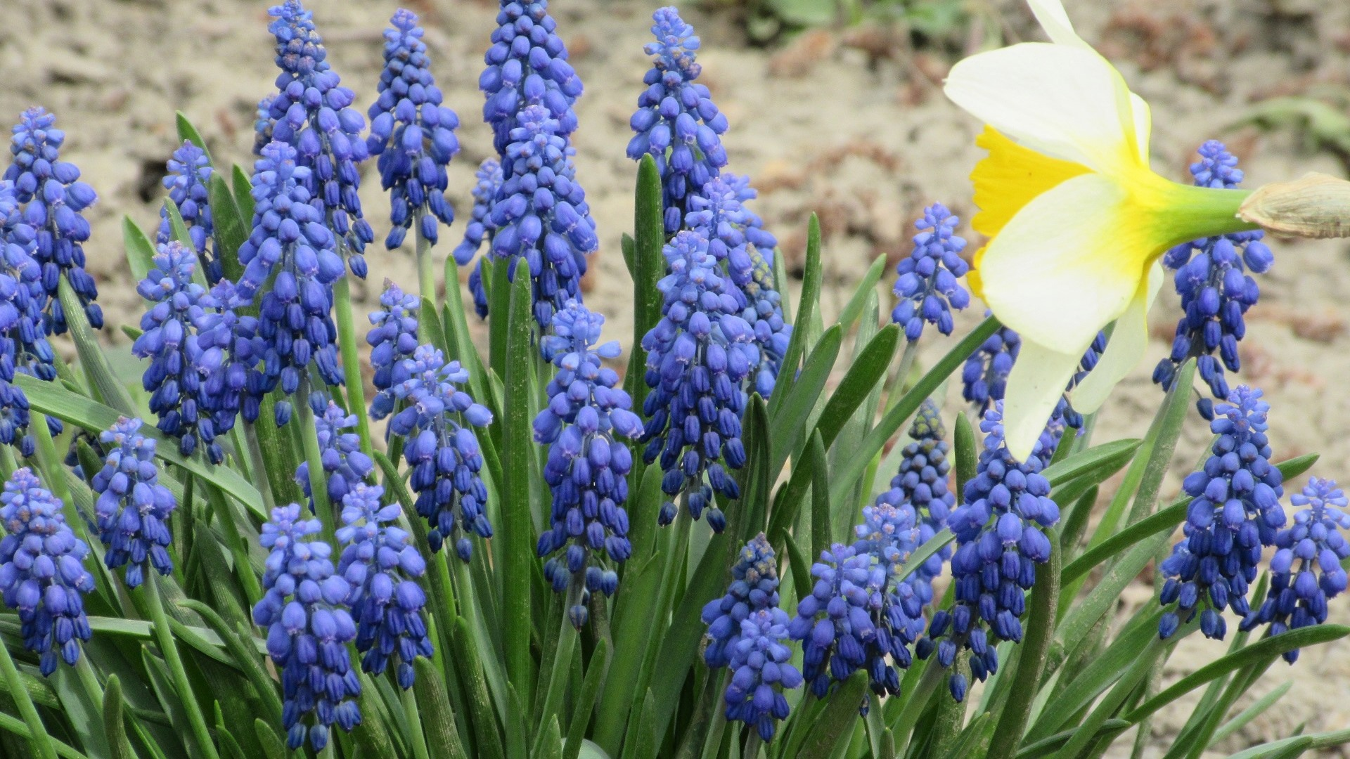 flor azul Jacinto